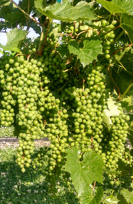 vineyardgrapes.jpg