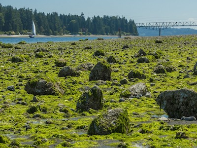 Sea lettuce covering beach