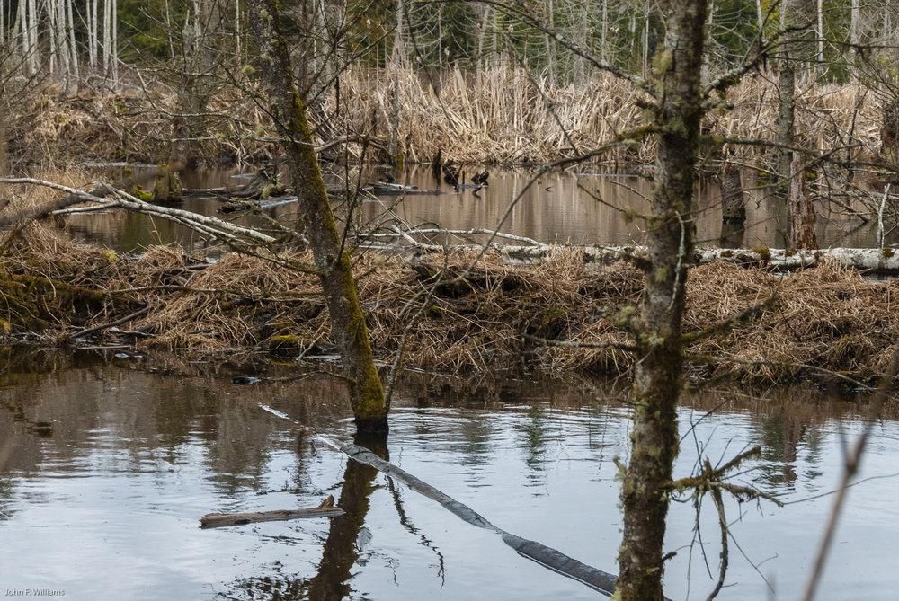 Beaver dam in Port Gamble Forest Heritage Park