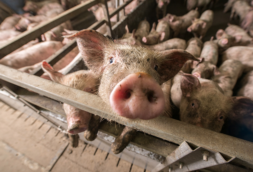 High-speed-pig-slaughter-Article.jpg