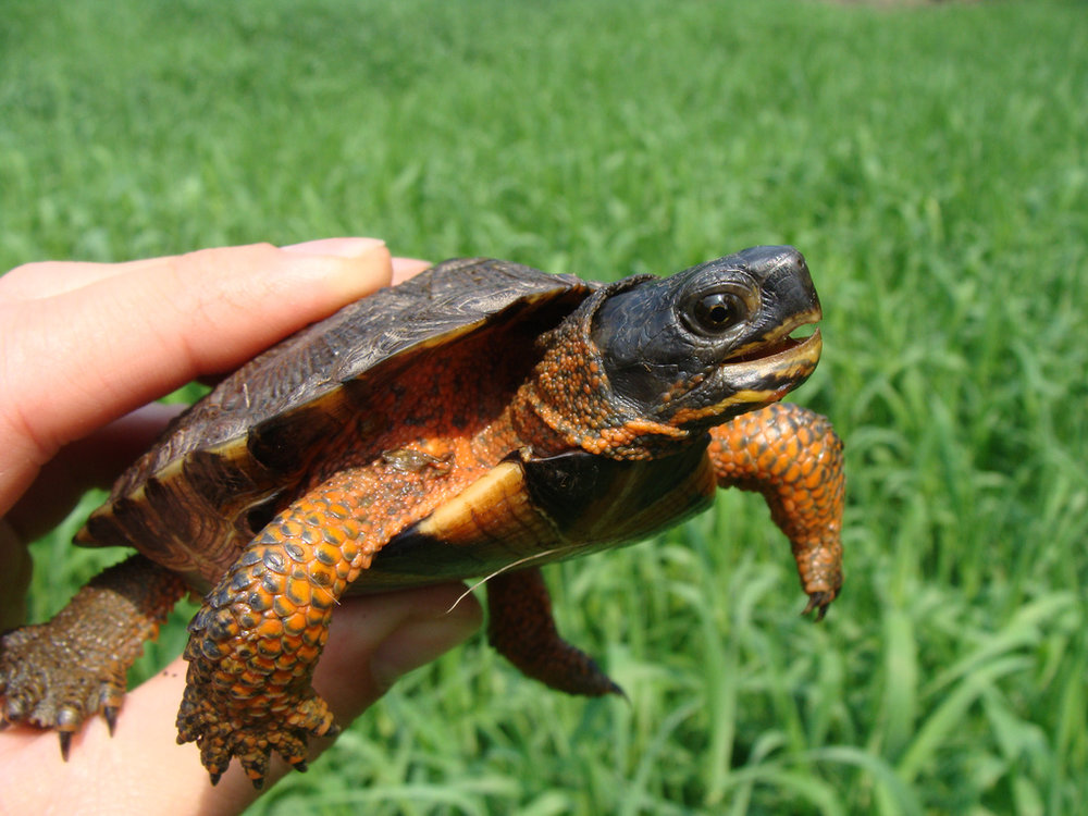 Juvenile wood turtle. Photo by U.S. Fish and Wildlife Service.