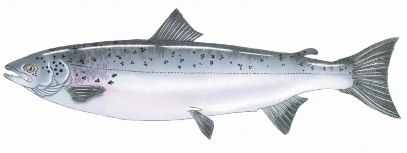 Illustration by Roz Davis Designs. Sturgeon drawing courtesy of the Maine Department of Marine Resources Recreational Fisheries program & the Maine Outdoor Heritage Fund.