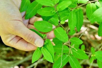 1-Bush honeysuckle.jpg