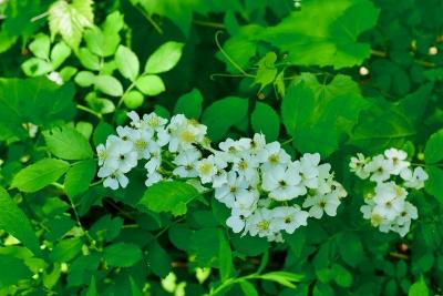 1-multifloral rose.jpg