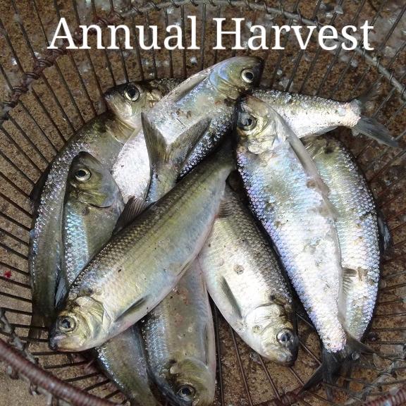 bushel fish sm.jpg