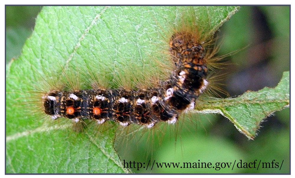 browntail_moth_brochure_Page_1-002.jpg