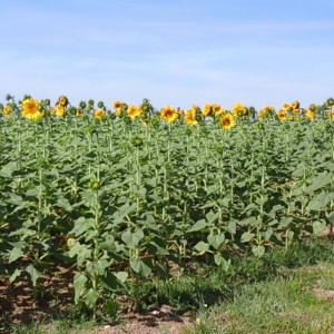 sunflower fields