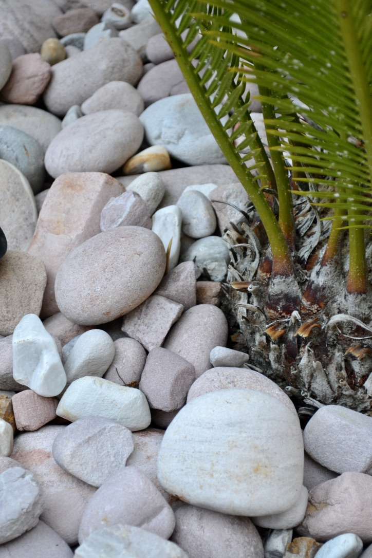 The sculptural form of a sago palm with river stones below.