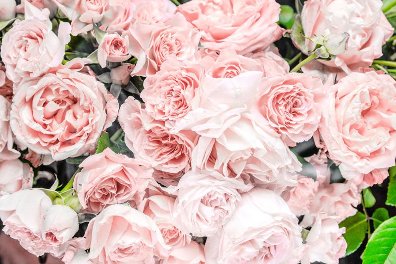pink roses paris france