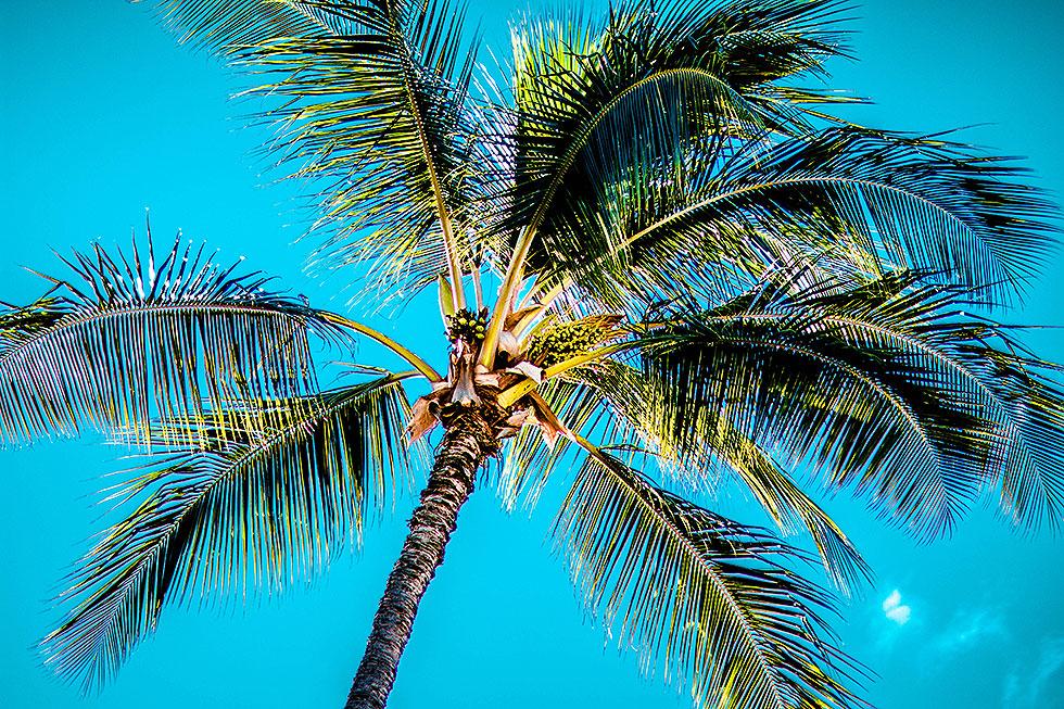 palm trees with blue sky maui hawaii