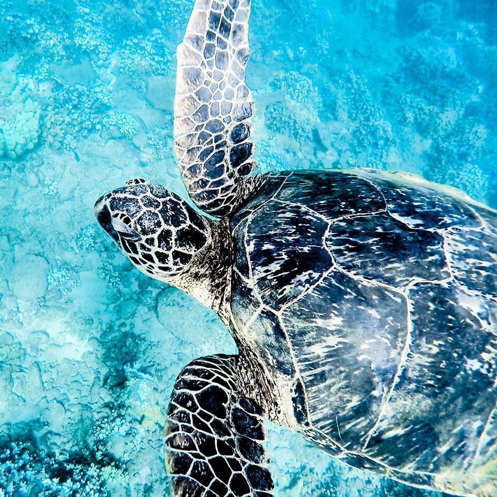 turtle swimming in ocean in maui hawaii