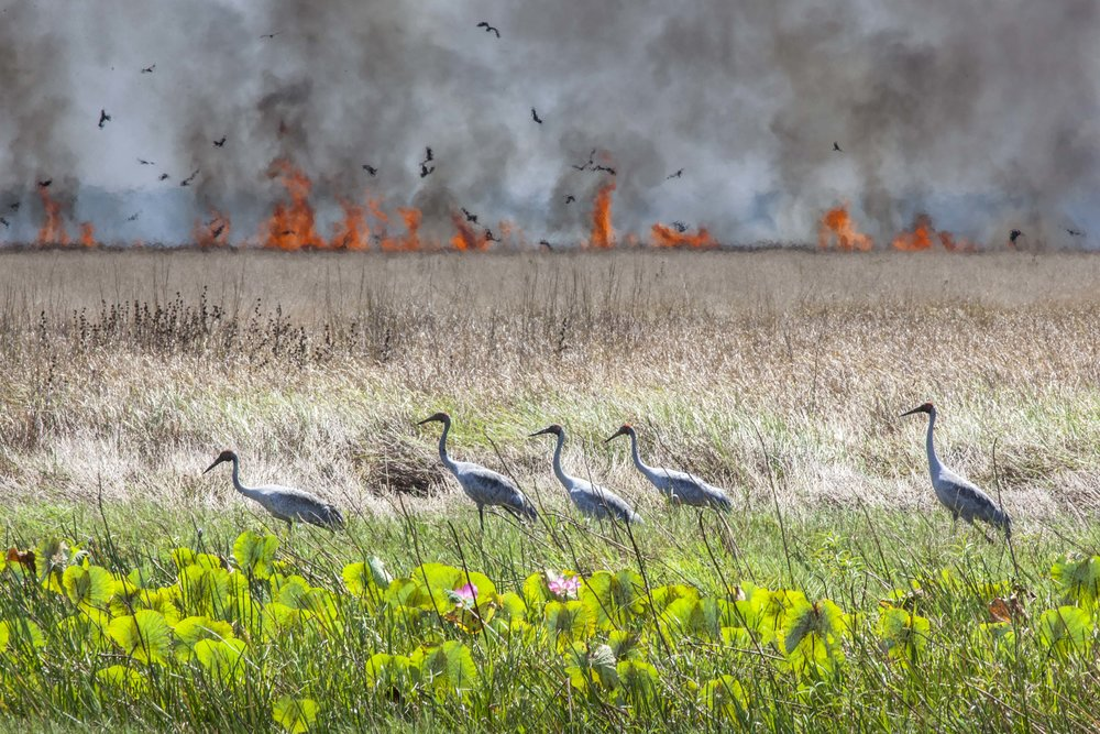 Brolga's flee fire by Cathryn Vasseleu