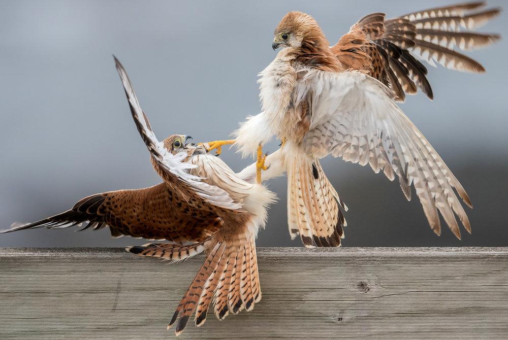 Nankeen Kestrels Fighting by David Adam
