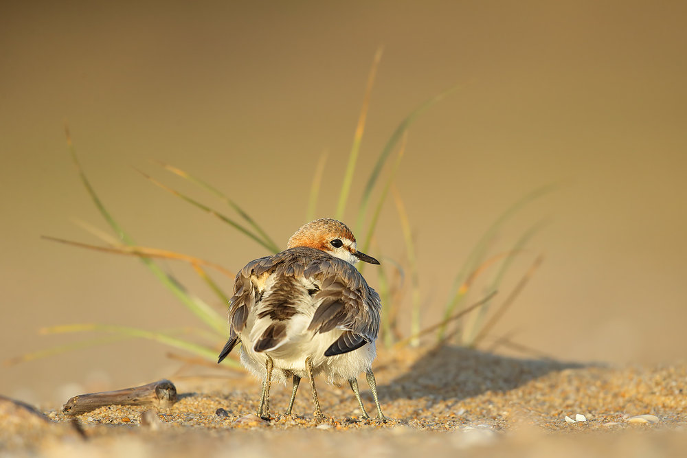 Six-legged Red-capped Plover by Leo Berzins