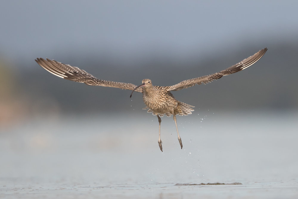 Eastern Curlew by Simon Blanchflower