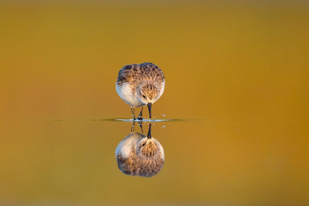 Shorebird Reflection by Duade Paton