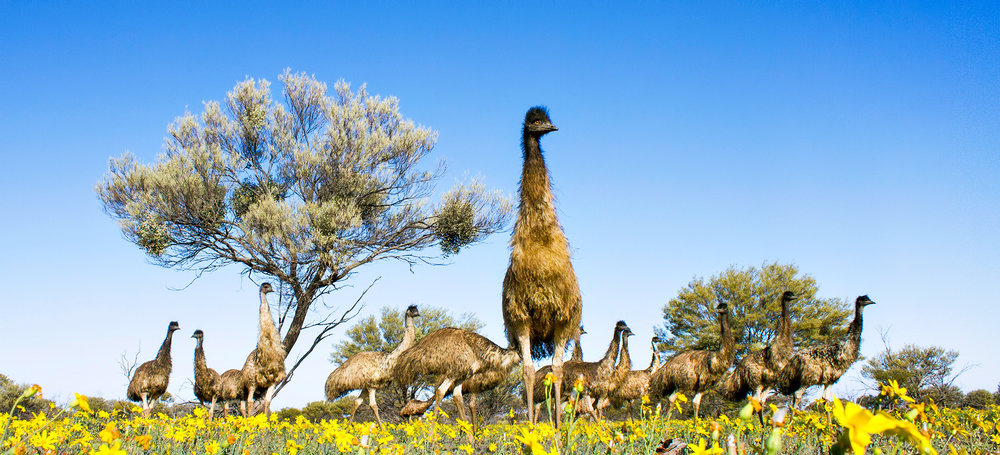 Emus Among the Daisies by Lachlan Hall