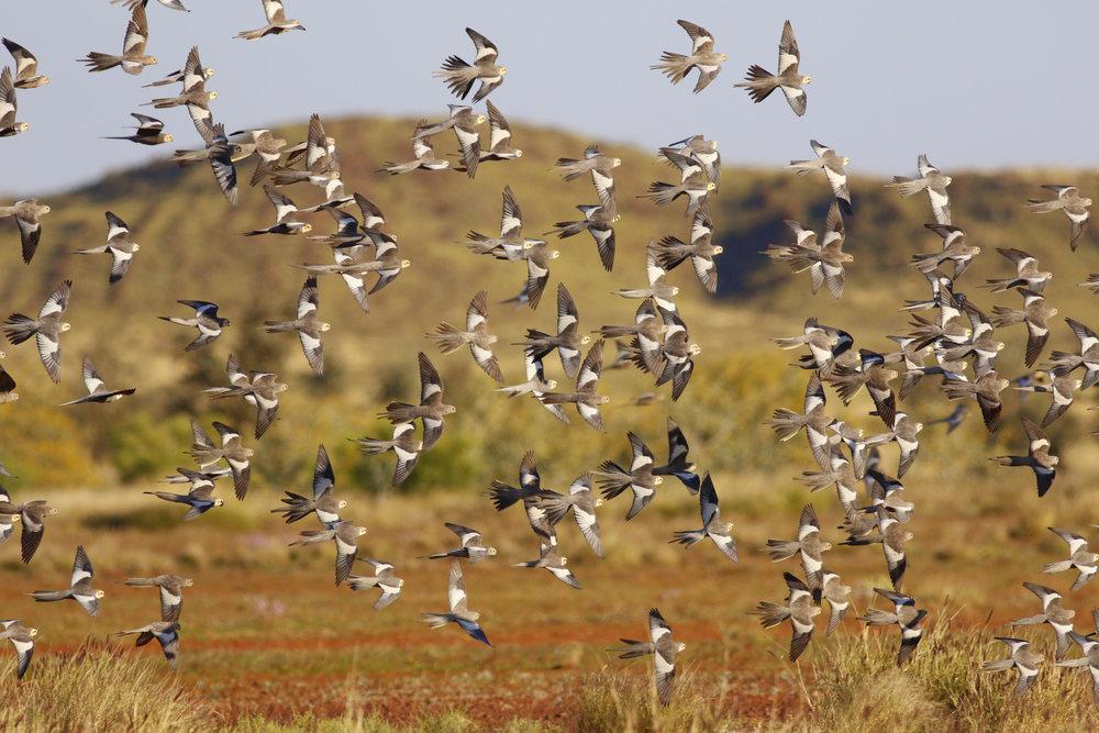Cockatiels in the Pilbara by Cherilyn Corker