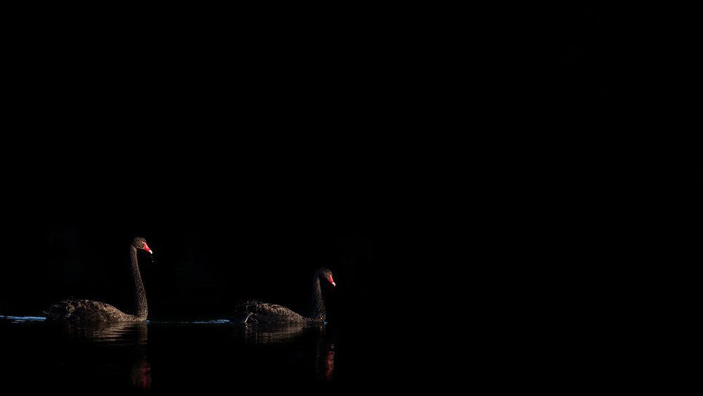 Swans in Black by David Stowe