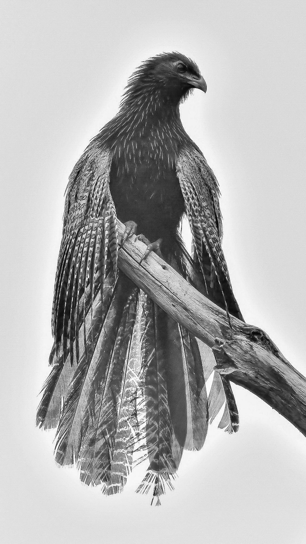 Sorrowful Coucal by Sylwester Chyb