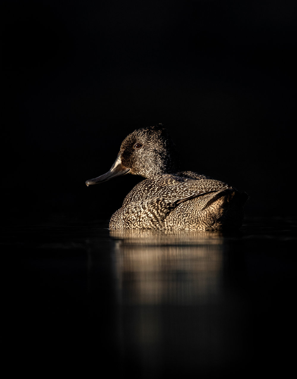 Freckled Duck by Duade Paton