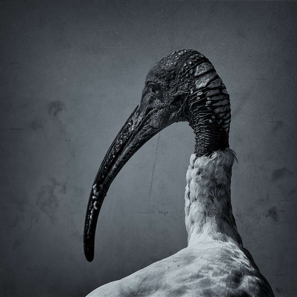 Ibis Deep in Thought by Paul Aurisch