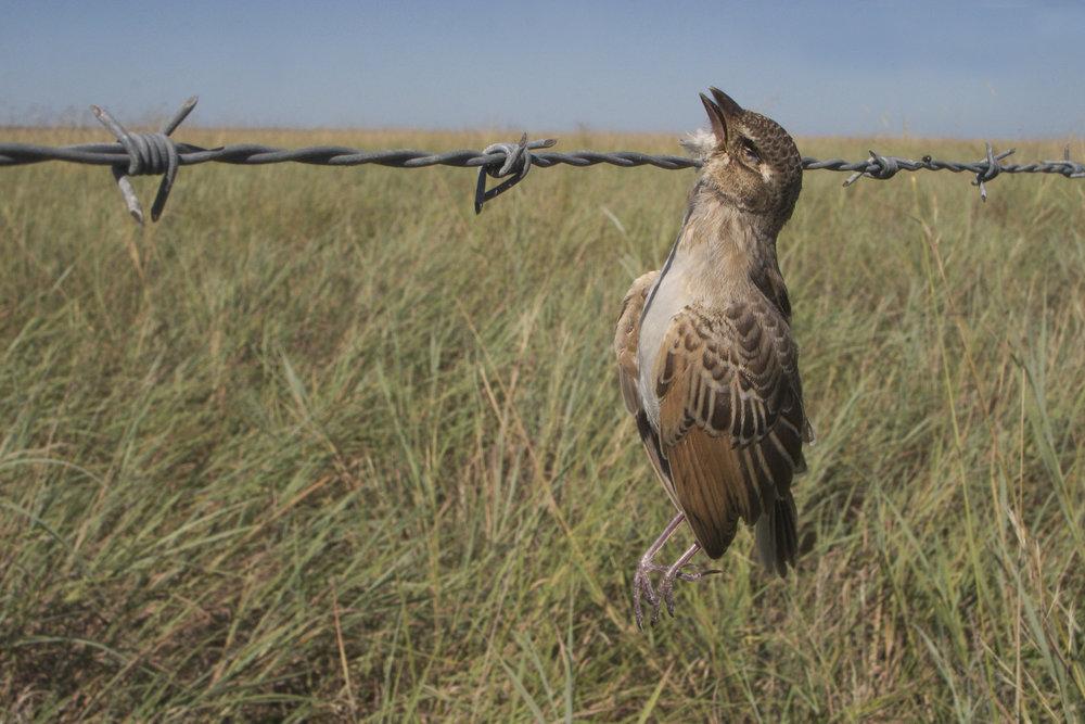 Horsfield's Bushlark by Don Hadden
