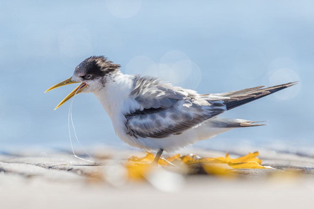 Crested Tern Choking on a Fishing Line by Maria Mazo