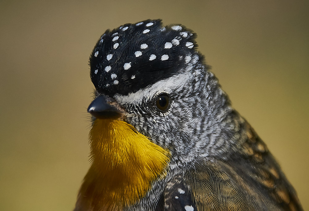 Pardalote Perfection by McKinley Moens