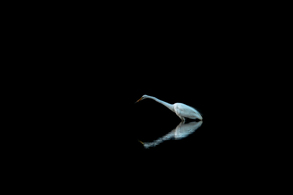 Great Egret by Campbell Mole