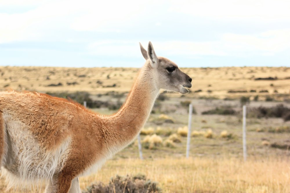 Guanacos are everywhere in Patagonia. Since we rented a car, we got some great shots.
