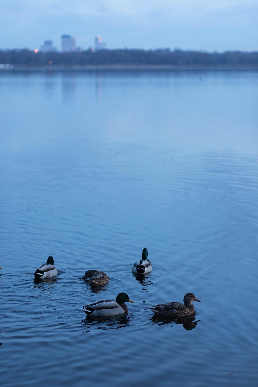 city ducks - lake harriet, minneapolis