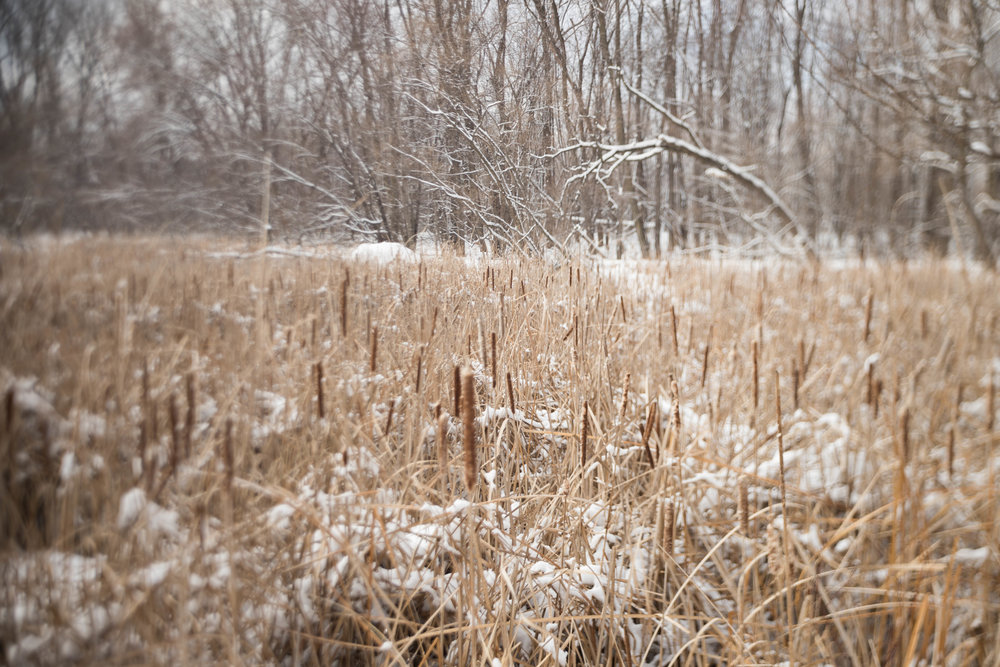 freelensed cattails.jpg