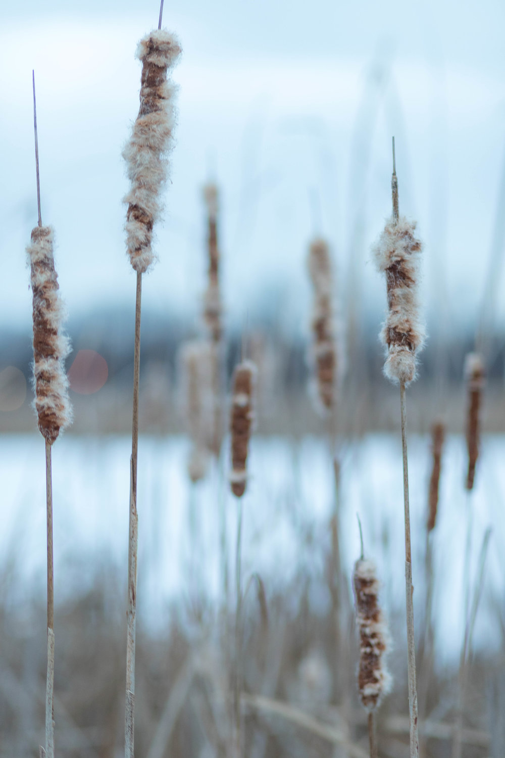 wintry cattails - veterans' park, richfield