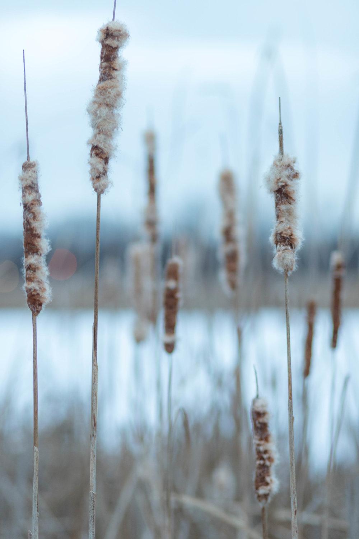 wintry cattails - veterans'park, richfield