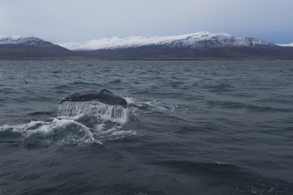 humpback whale - eyjafjörður