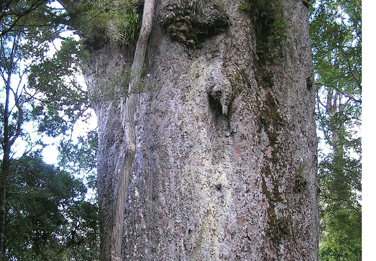 Native Kauri tree