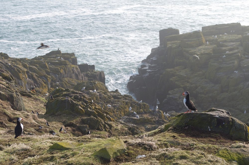 Puffins along path from Low Light cottage towards the South Horn