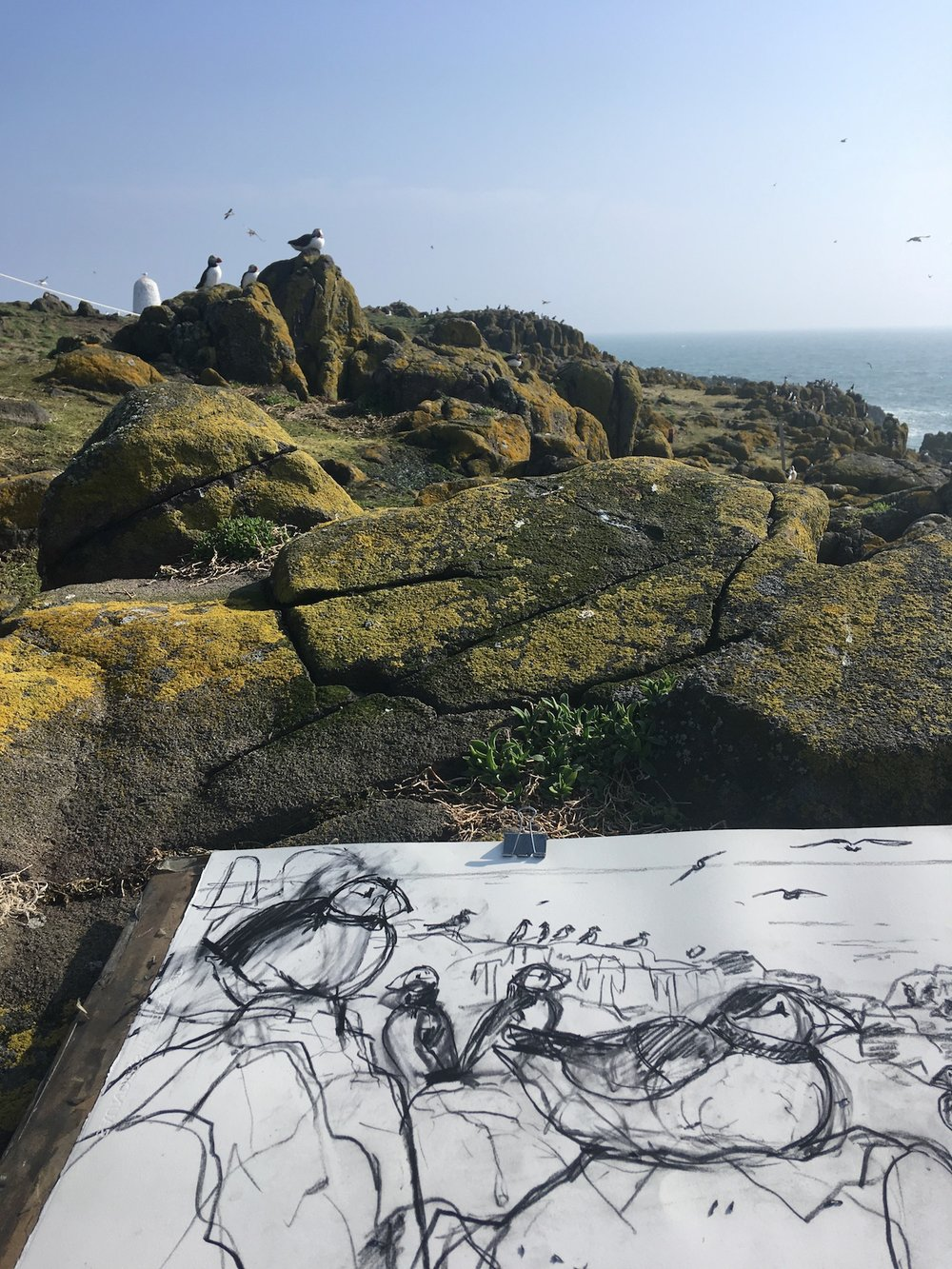 After a few drawings in my sketch book, I was ready to make a sustained piece of work on site. I usually feel quite tense as I start this process, and am keen to work quickly whilst my subject matter is still there! However this drawing was such a pleasure to make. I was still reeling from the total wonder of sitting so close to puffins that had arrived on the island just hours before.