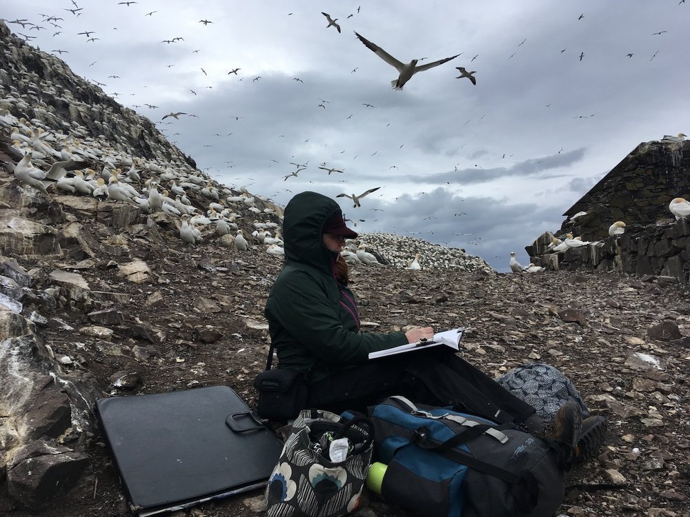 Drawing on Bass Rock, surrounded by 150,000 gannets.