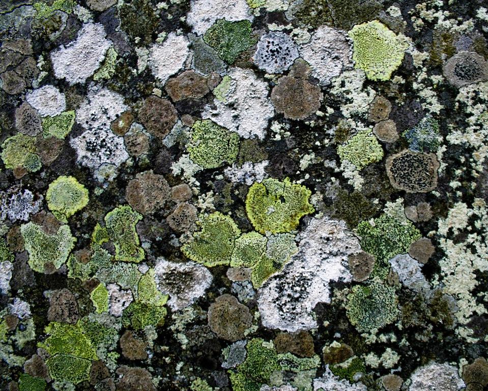lichen-on-slate-1.jpg
