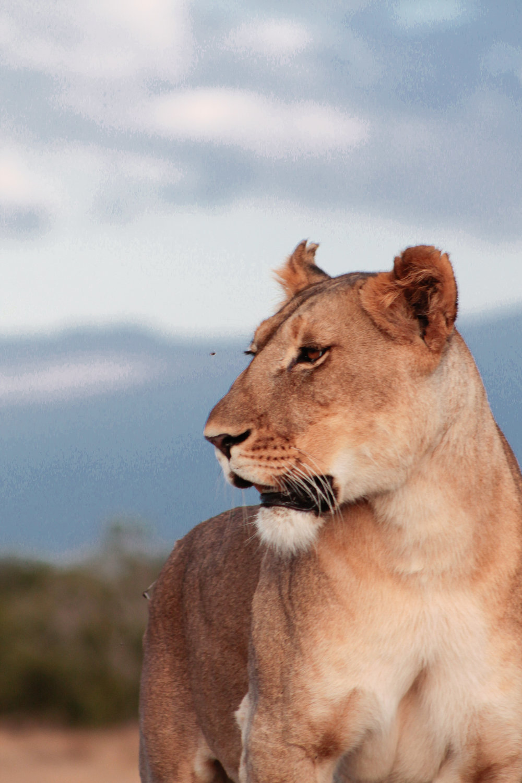 A beautiful lioness