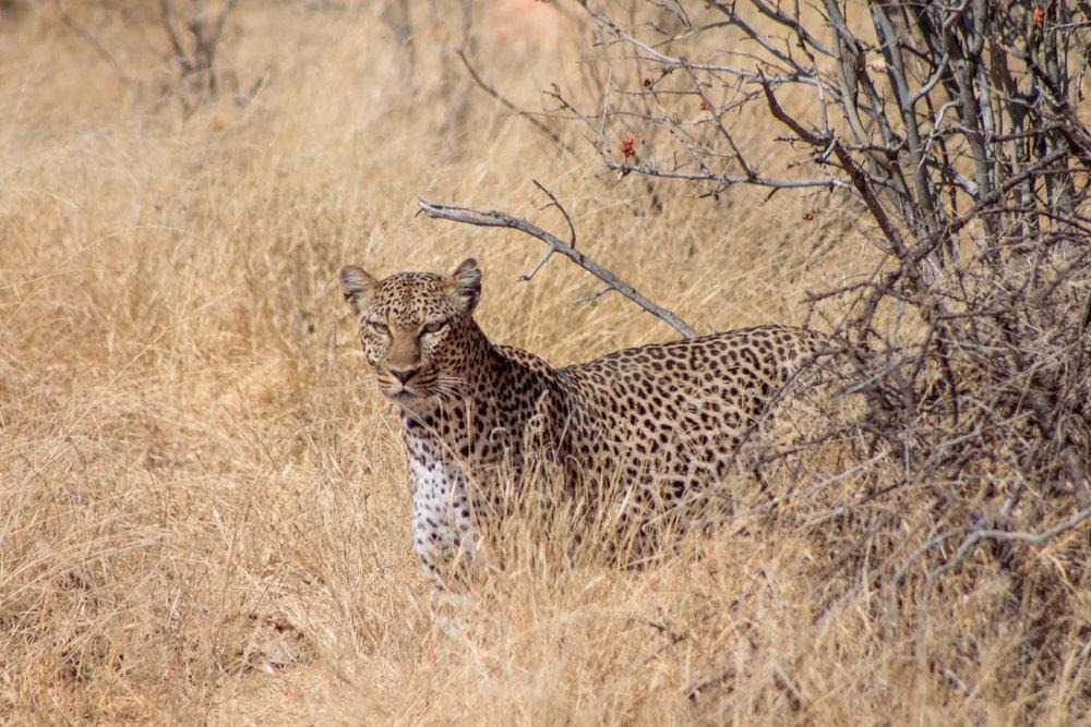 A lucky leopard sighting!
