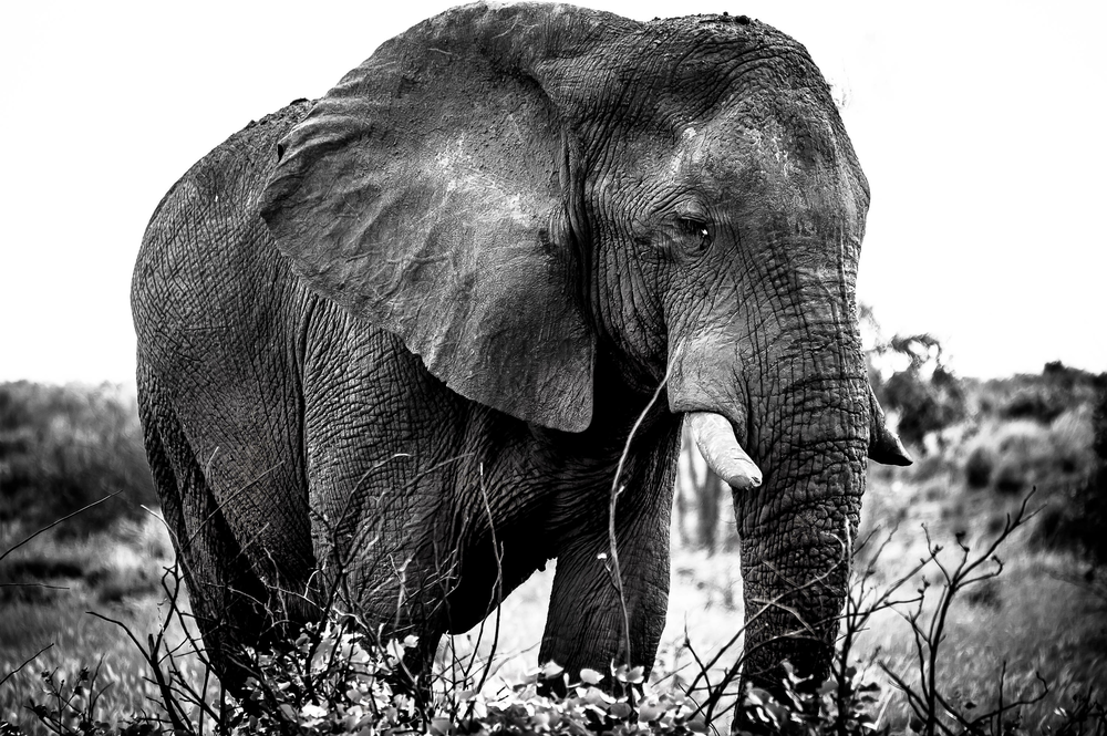 """The Gentle Giant"" Photographed by Ron Foster in Botswana"