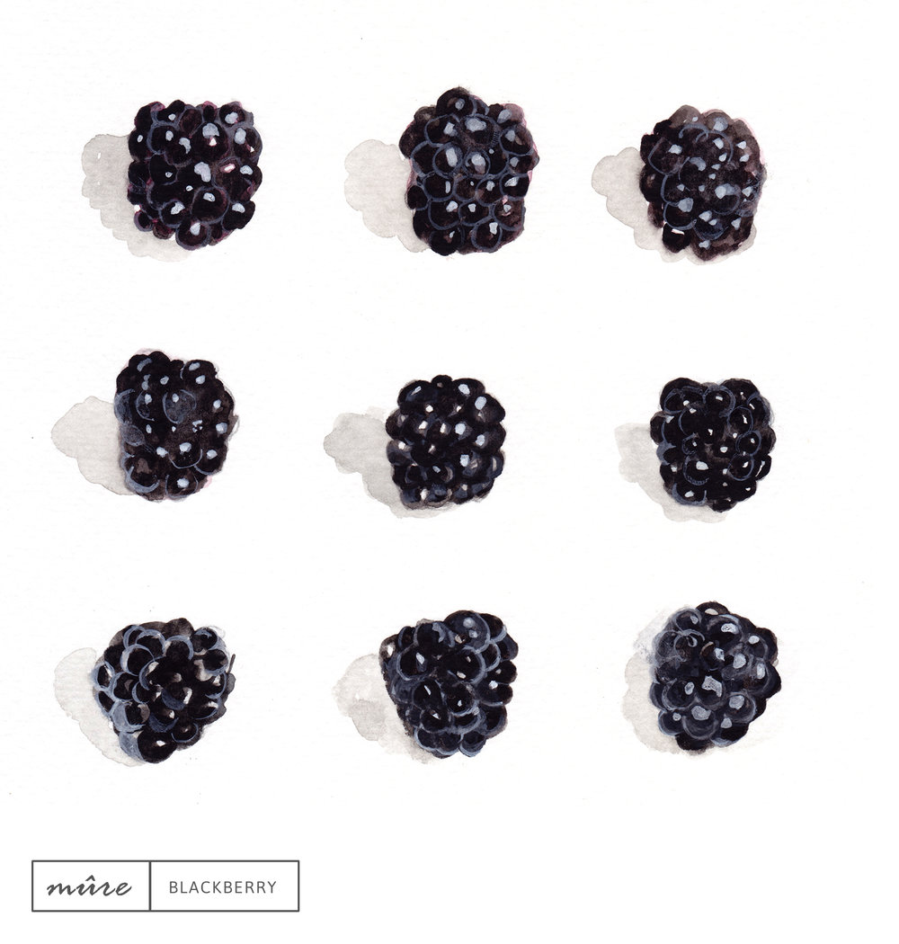 Laetitia_Eaton_watercolor_blackberry