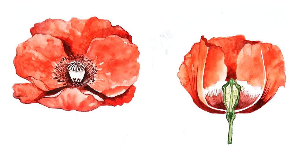 Laetitia_Eaton_watercolor_poppy_flowers_2.jpg