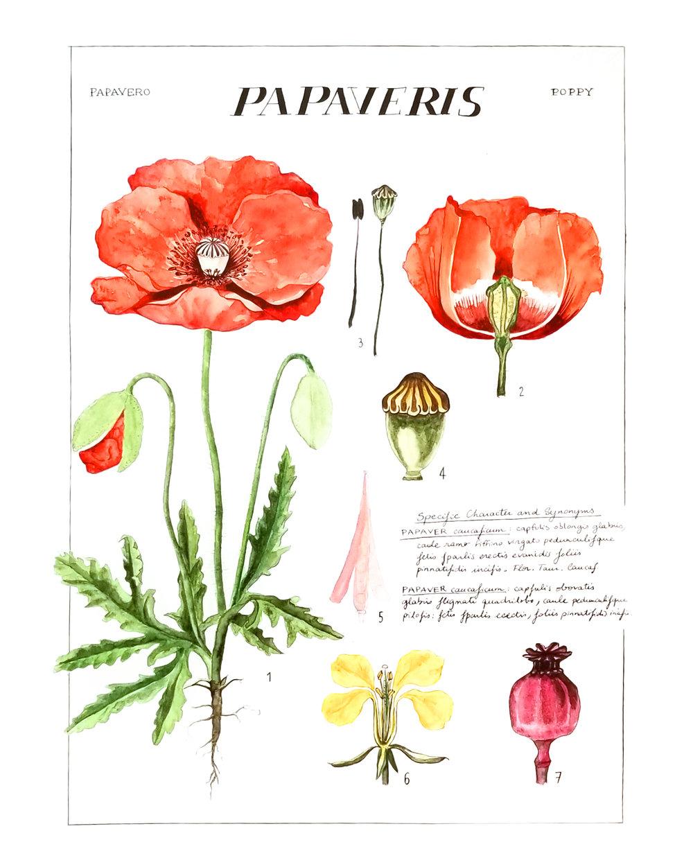 Laetitia_Eaton_watercolor_poppy_flowers_full.jpg