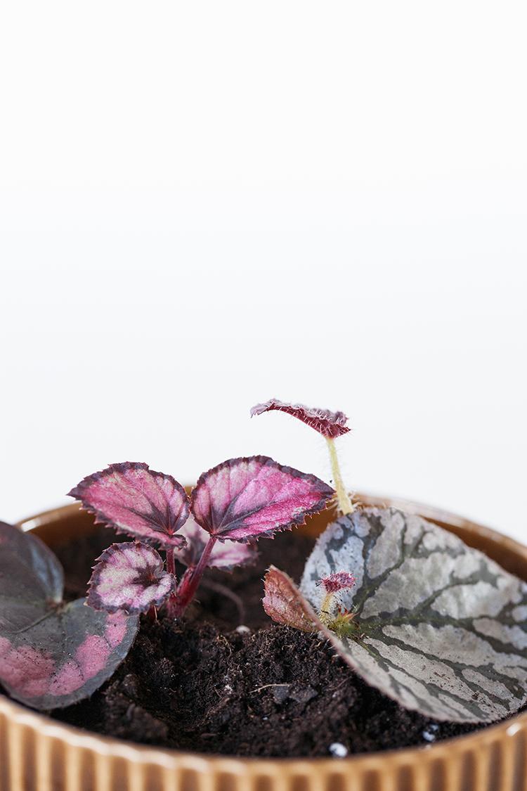 Begonia-rex-IMG_2973-copy.jpg
