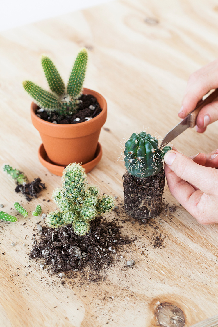Cactus stekken