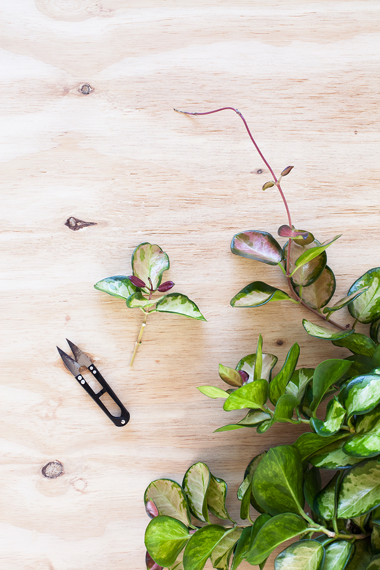 Hoya carnosa stekken